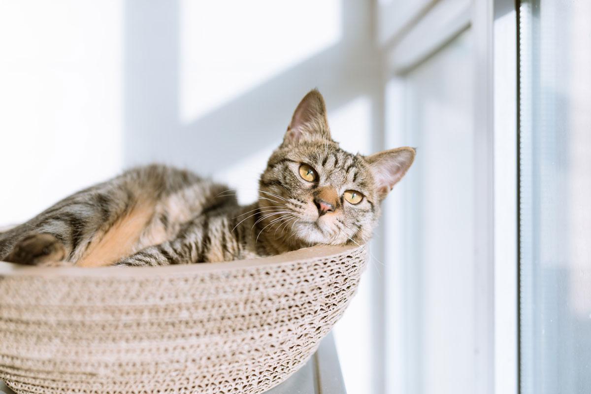 tabby cat in wicker bed resting in sunlight